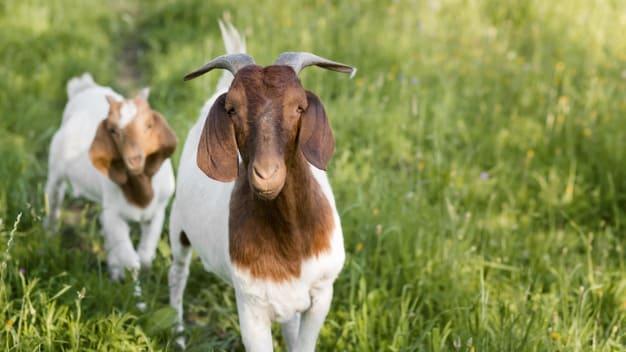 close up goats farm 23 2148672981