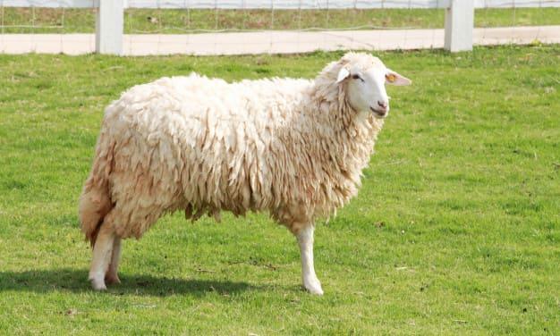 sheep field 35672 1325