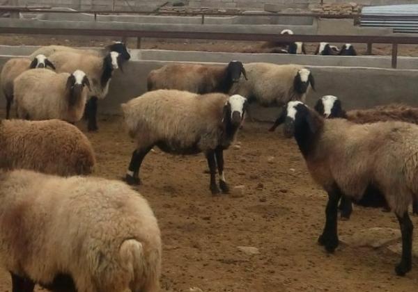 گوسفند نژاد شال خالص و اصلاح شده
