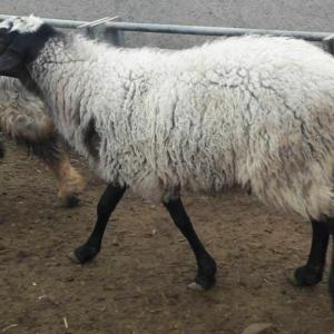 گوسفند آمیخته شال-رومانوف